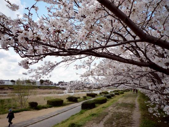 sakura_muromi