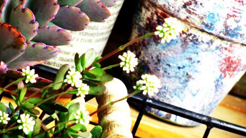紅稚児の花