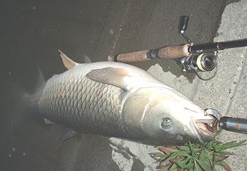 陸派と草魚
