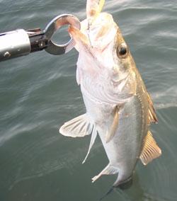 こんなカワイイサイズも釣れます。