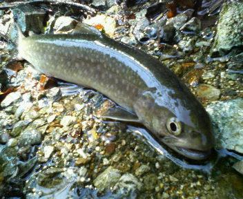 岩魚526