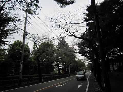 市役所通りの桜