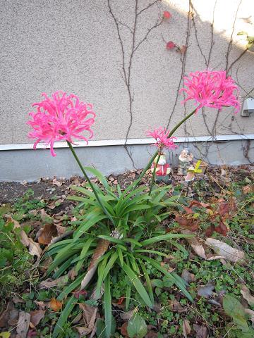ピンクの彼岸花