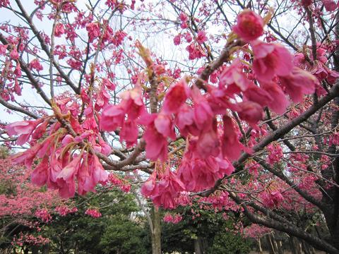 桜アラカルト