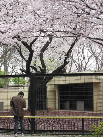 満開の桜と旦那さん