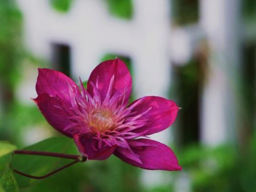 ガイゼル 2番花