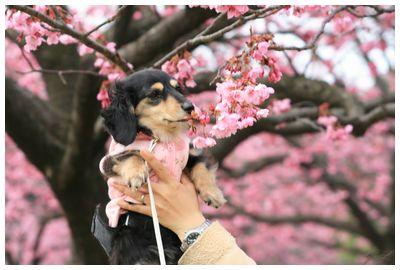 IMG_7172_1夢と桜