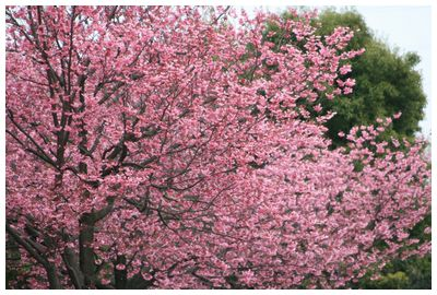 IMG_7476_1横浜桜