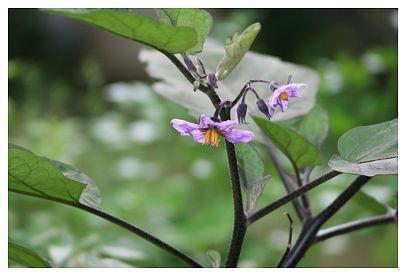 IMG_9886なすびの花