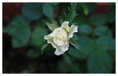 IMG_1543挿し木の薔薇