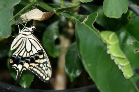 アゲハ蝶と幼虫