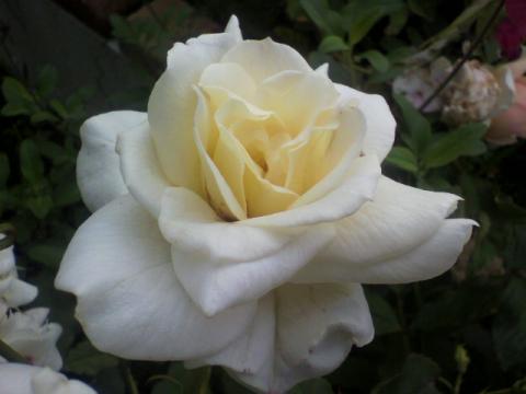 ブライダルホワイト