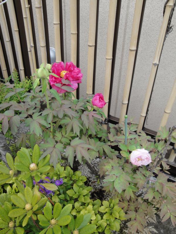 DSC0356<br /><br />牡丹も咲きました。植え付け当初は元気が無く心配でしたが、葉色も良くなった。<br /><br /><br />8_convert_20100421171556.jpg