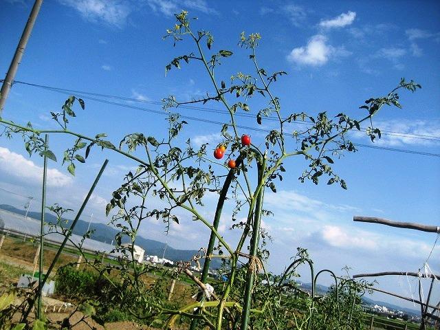 トマトアーチ