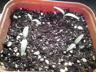 播種後1週間