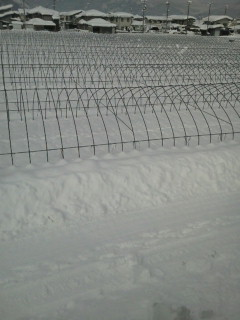 雪です。にんにくも埋もれてしまいました。