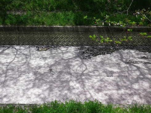 川面の桜並木。