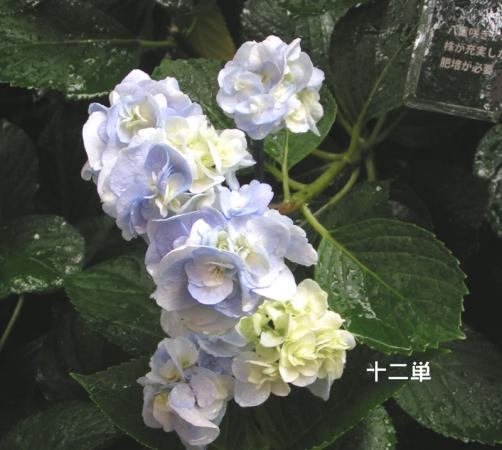 jyuni