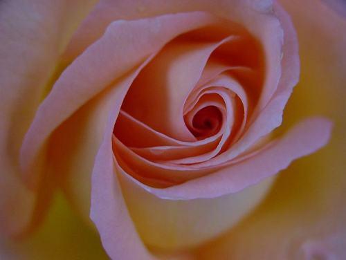 Rosa_flowerkids_1.jpg