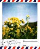 渥美菜の花1