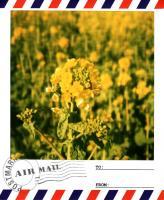 渥美菜の花2