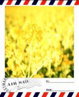 渥美菜の花3