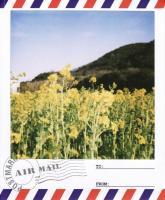 渥美菜の花5