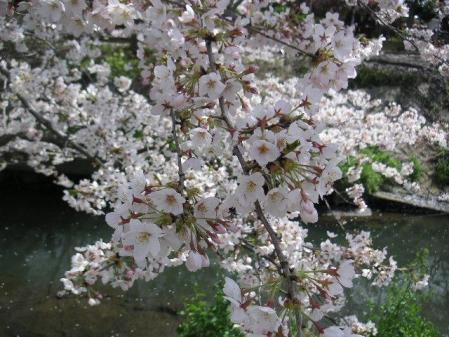 やっぱり桜は綺麗だなぁ~