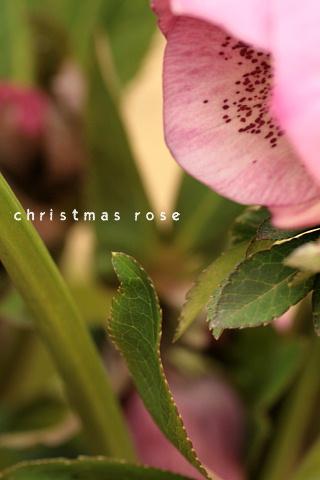 christmas rose20081
