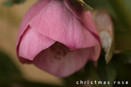 christmas rose20082