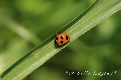 A hello ladybug
