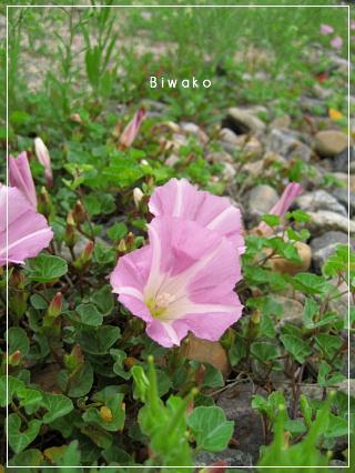 biwako5191.jpg