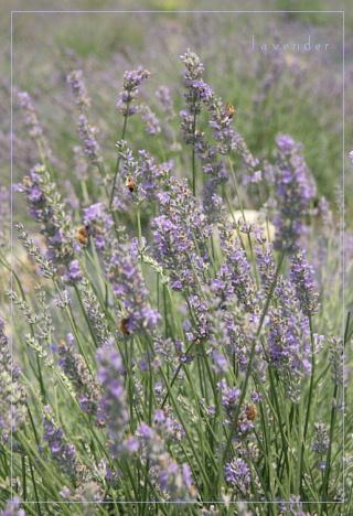 lavender200872a.jpg