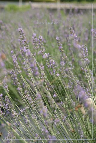 lavender200872b.jpg