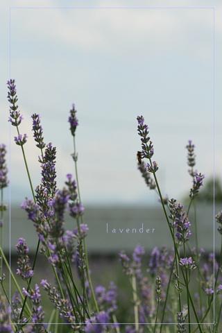 lavender200872c.jpg