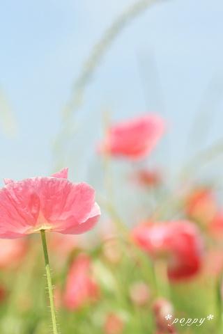 poppy4.jpg