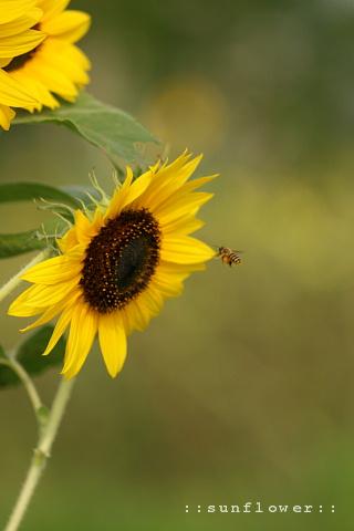 sunflower19729.jpg