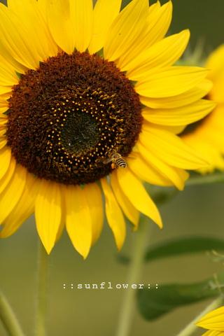 sunflower197291.jpg