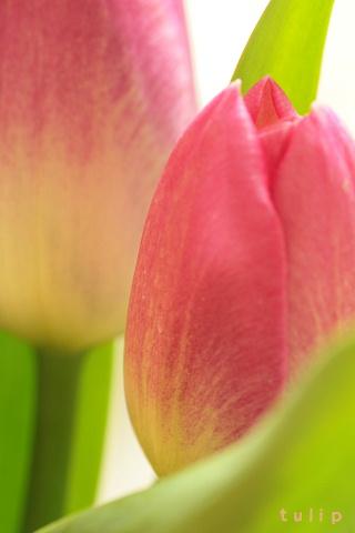 tulip2008371.jpg