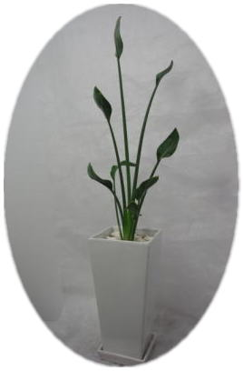 ストレリチアノンリーフ ホワイトロング陶器鉢