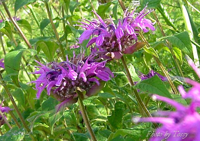 ベルガモット紫