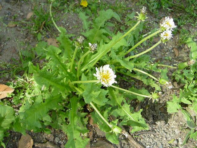白花タンポポ3