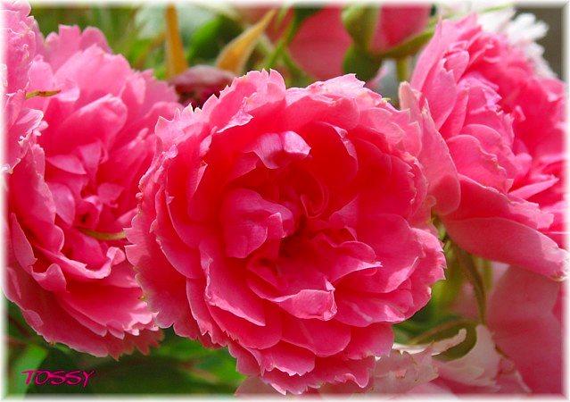 バラ カーネーション咲き
