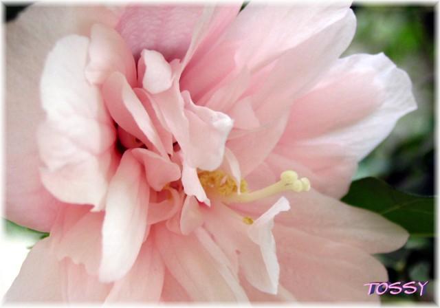 ムクゲ八重ピンク