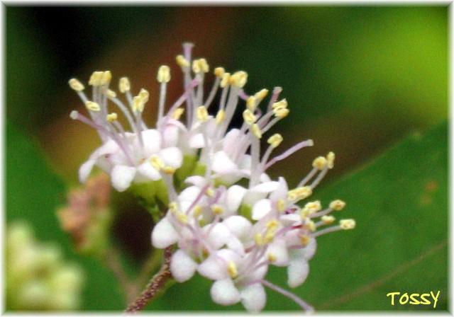 ムラサキシキブ花2