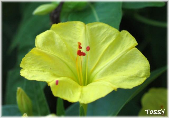 オシロイバナ 黄