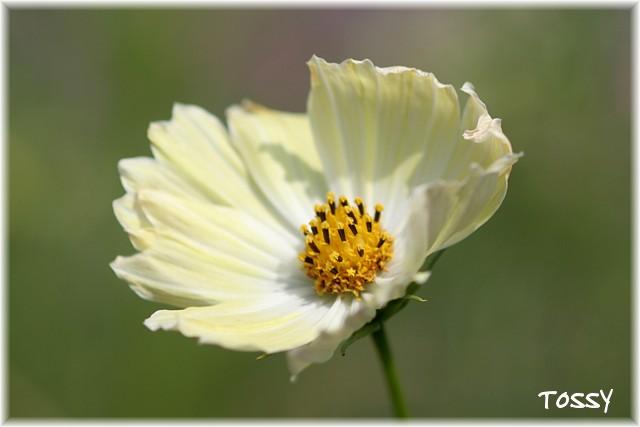 うす黄色のコスモス