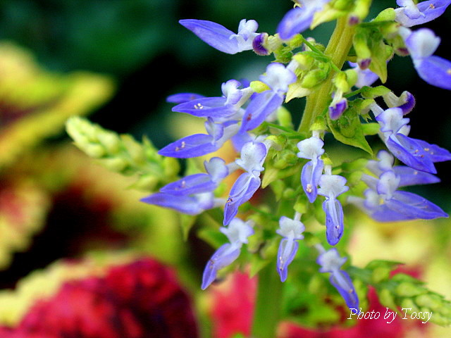 コリウス花