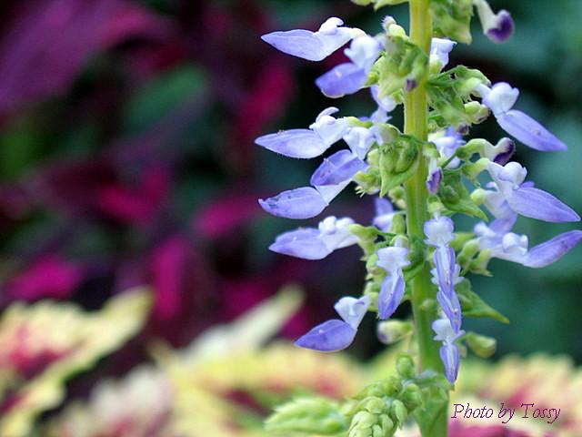 コリウスの花2