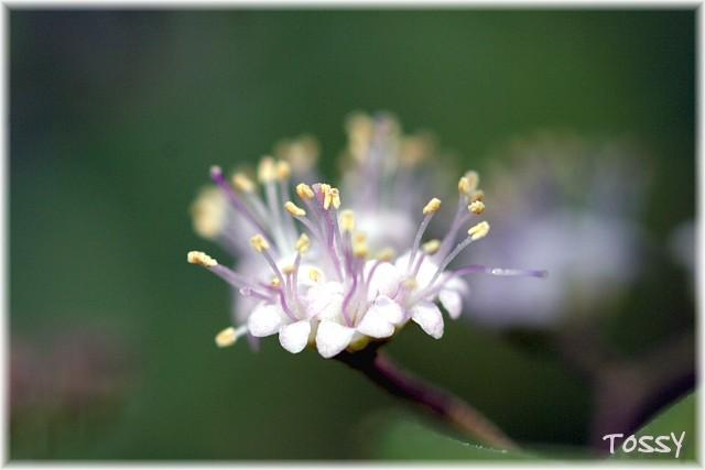 ムラサキシキブ花1